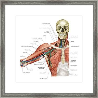 Upper Body Lymphoid System Framed Print by Asklepios Medical Atlas