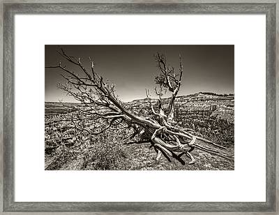 Uprooted - Bryce Canyon Sepia Framed Print by Tammy Wetzel