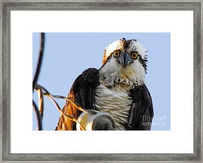 Urban Osprey Framed Print