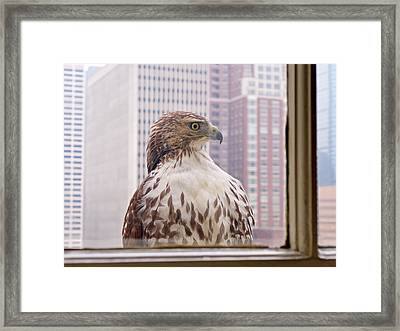 Urban Red-tailed Hawk Framed Print by Rona Black