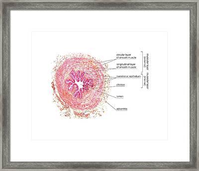 Ureter Framed Print by Asklepios Medical Atlas