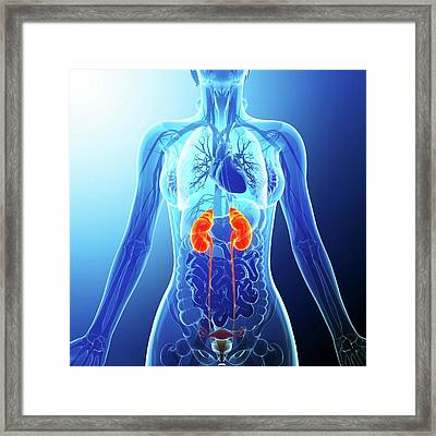 Urinary System Framed Print by Pixologicstudio
