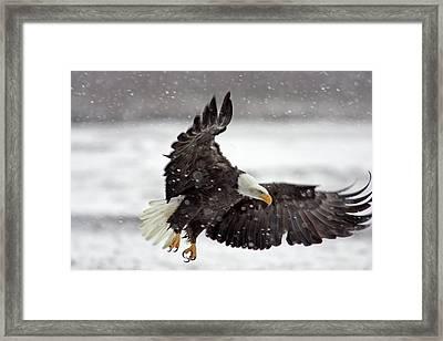 Usa, Alaska, Alaska Chilkat Bald Eagle Framed Print by Jaynes Gallery