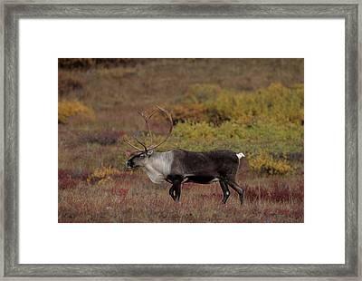 Usa, Alaska, Bull Caribou, Denali Framed Print by Gerry Reynolds