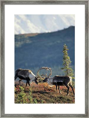 Usa, Alaska, Bull Caribou, Mount Framed Print by Gerry Reynolds