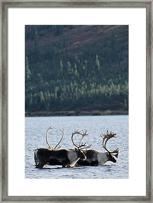 Usa, Alaska, Bull Caribou, Wonder Lake Framed Print