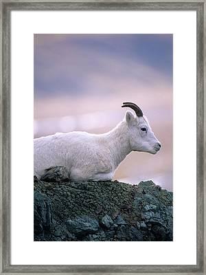 Usa, Alaska, Dall Sheep, Ewe, Denali Framed Print by Gerry Reynolds