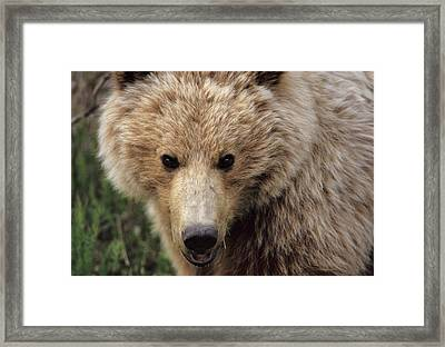 Usa, Alaska, Grizzly Bear, Denali Framed Print