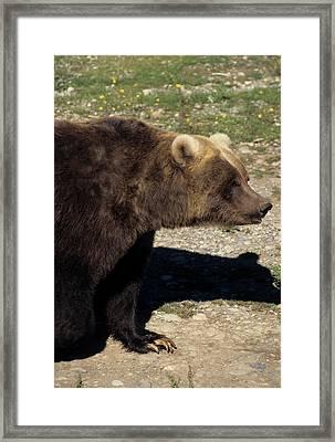 Usa, Alaska, Grizzly Bear, The Alaska Framed Print