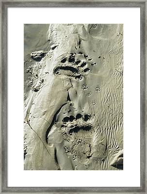 Usa, Alaska, Grizzly Bear Tracks Framed Print by Gerry Reynolds