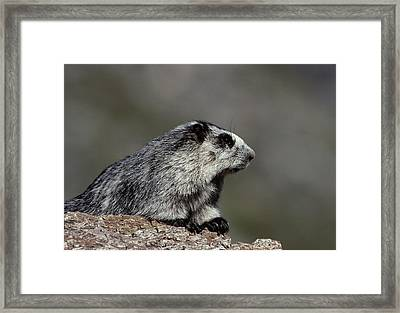 Usa, Alaska, Marmot, Denali National Framed Print by Gerry Reynolds