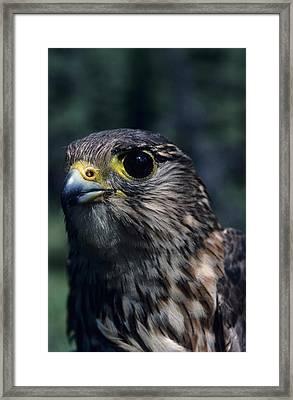 Usa, Alaska, Merlin Falcon, Denali Framed Print by Gerry Reynolds