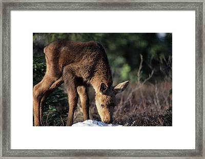 Usa, Alaska, Moose Calf, Denali Framed Print