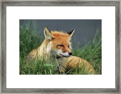 Usa, Alaska, Red Fox, Denali National Framed Print