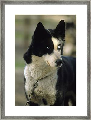 Usa, Alaska, Sled Dog, Dog Sledding Framed Print by Gerry Reynolds