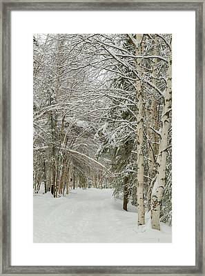 Usa, Alaska Snow-covered Birch Framed Print