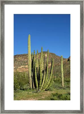 Usa, Arizona, Ajo, Organ Pipe Cactus Framed Print by Peter Hawkins