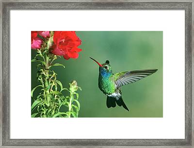 Usa, Arizona Broad-billed Hummingbird Framed Print by Jaynes Gallery