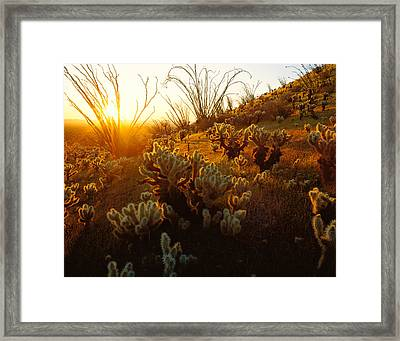 Usa, Arizona, Sonoran Desert, Ocotillo Framed Print