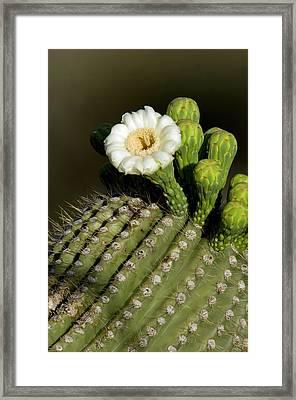 Usa, Arizona, Tucson, Saguaro National Framed Print by Peter Hawkins