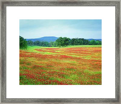 Usa, Arkansas Blooming Scarlet Clover Framed Print by Jaynes Gallery