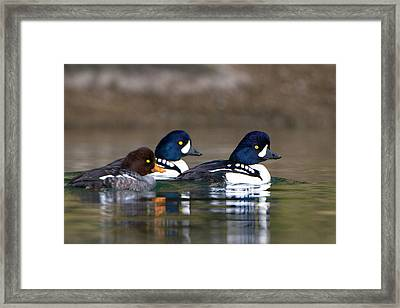 Usa Barrow's Goldeneye (bucephala Framed Print