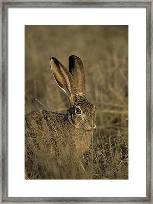 Usa, Black-tailed Jackrabbit Framed Print