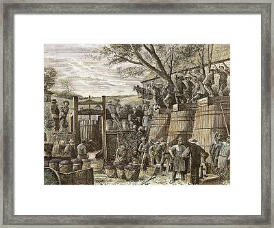 Usa. California. 19th Century. Chinese Workers Treading Grapes. Engraving Framed Print by Bridgeman Images