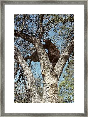 Usa, California, Black Bear In Oak Framed Print
