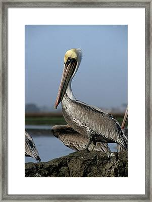 Usa, California, Brown Pelicans Framed Print by Gerry Reynolds