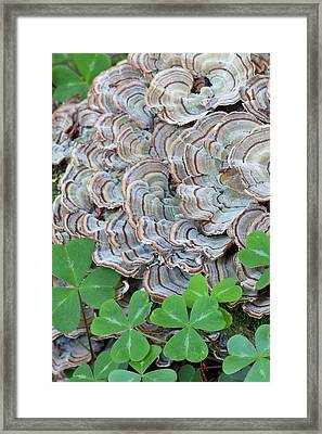 Usa, California Close-up Of Oxalis Framed Print