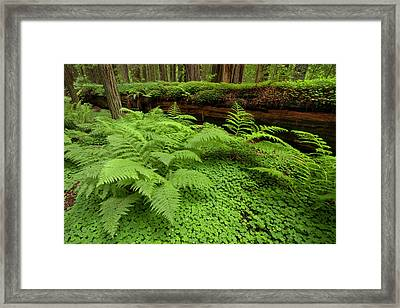 Usa, California, Humboldt Redwood Framed Print by Jaynes Gallery
