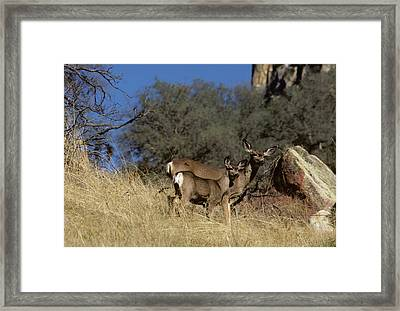 Usa, California, Mule Deer, Doe Framed Print by Gerry Reynolds