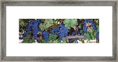 Usa, California, Napa Valley, Grapes Framed Print by Panoramic Images
