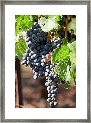 Usa, California, Napa Valley Wine Framed Print