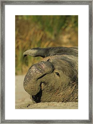 Usa, California, Northern Elephant Framed Print