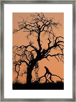 Usa, California, Oak Tree, Sunset Framed Print by Gerry Reynolds