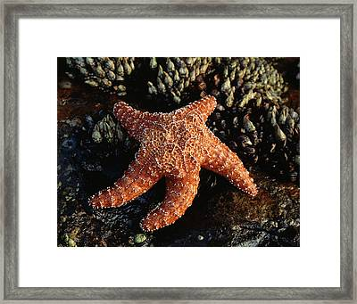 Usa, California, San Diego, A Starfish Framed Print by Christopher Talbot Frank