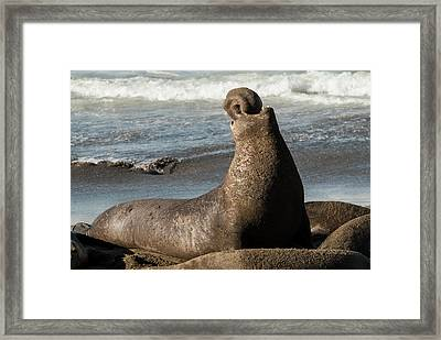 Usa, California, San Simeon, Elephant Framed Print by Alison Jones