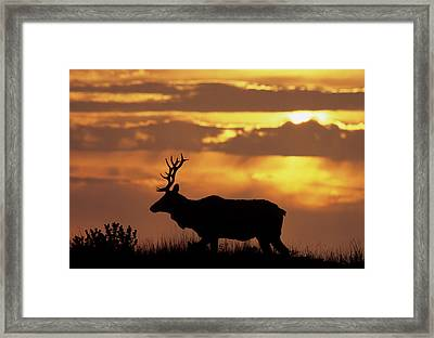 Usa, California, Sunset, Tule Elk Framed Print by Gerry Reynolds