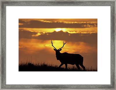 Usa, California, Tule Elk, Point Reyes Framed Print by Gerry Reynolds