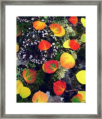 Usa, Colorado, Aspen Leaves On A Lichen Framed Print by Jaynes Gallery
