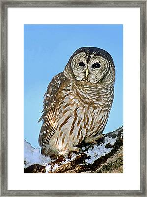 Usa, Colorado Portrait Of Barred Owl Framed Print by Jaynes Gallery