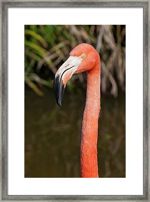 Usa, Florida American Flamingo Framed Print by Michael Defreitas