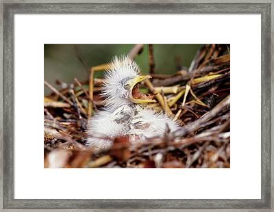 Usa, Florida Baby Cattle Egret In Nest Framed Print