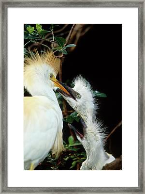Usa, Florida Cattle Egret Feeds One Framed Print