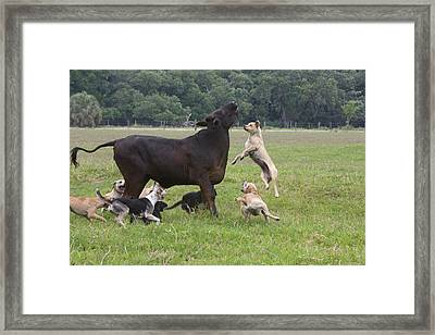 Usa, Florida Dogs Trained To Herd Framed Print by Jaynes Gallery
