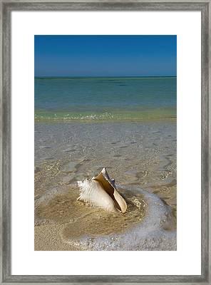Usa, Florida, Florida Keys, Conch Shell Framed Print by Chris Parker