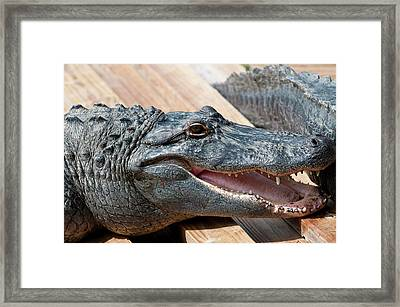 Usa, Florida Gatorland, Florida Framed Print by Michael Defreitas