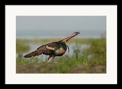 Florida Wild Turkey Framed Prints